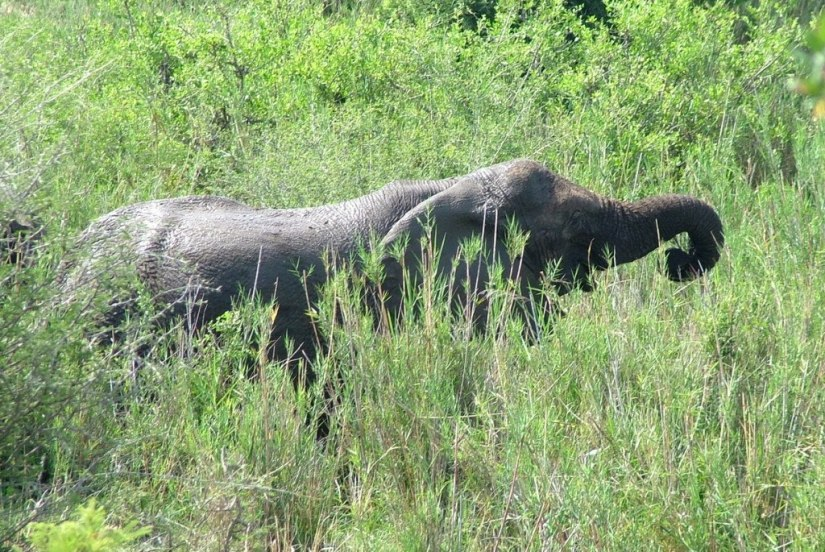 An image of an African Bush Elephant eating grass along a river in Kruger National Park, South Africa. Photography by Frame To Frame - Bob and Jean.