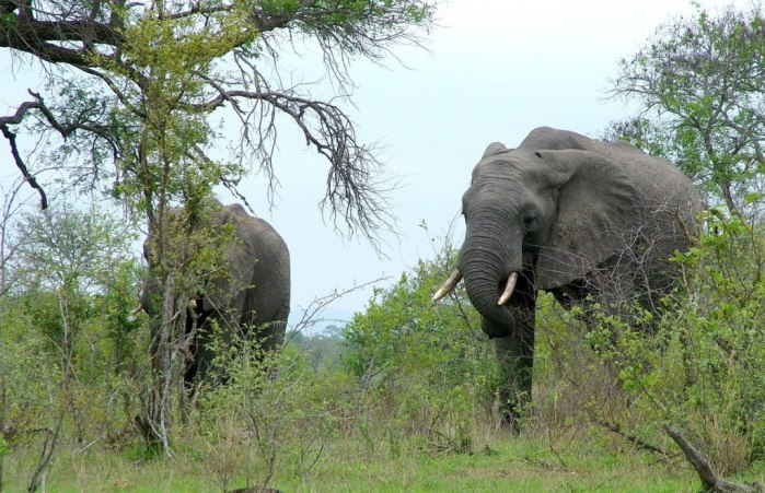 An image of two African Bush Elephants in Kruger National Park, South Africa. Photography by Frame To Frame - Bob and Jean.