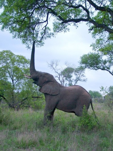 An African Bush Elephant eats leaves from a tree in Kruger National Park