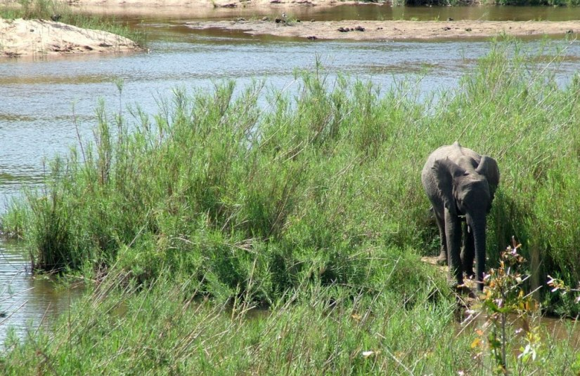 An image of an African Bush Elephant calf along a river in Kruger National Park, South Africa. Photography by Frame To Frame - Bob and Jean.