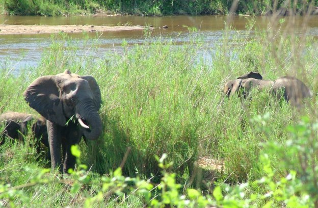 African Bush Elephants eating plants along a river in Kruger National Park, South Africa