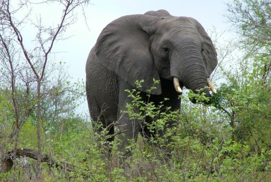 An image of an elephant eating leaves off a tree int Kruger National Park in South Africa. Photography by Frame To Frame - Bob and Jean.