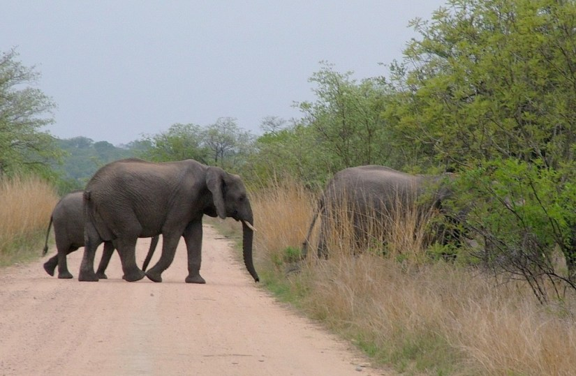 An image of African Bush Elephants crossing a dirt road in Kruger National Park, South Africa. Photography by Frame To Frame - Bob and Jean.