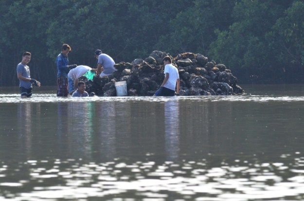 Photo of men harvesting native mangrove oysters at the El Conchal Estuary near San Blas, Mexico