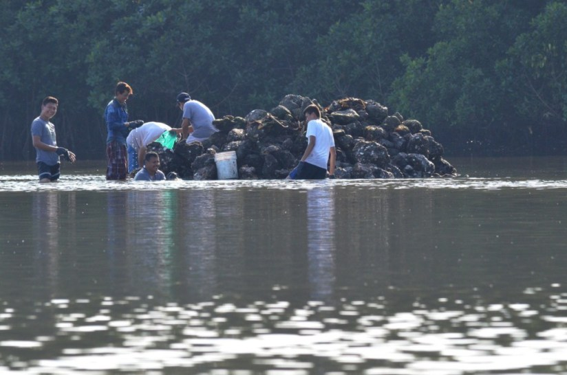 Photo of men harvesting native mangrove oysters at the El Conchal Estuary near San Blas, Mexico
