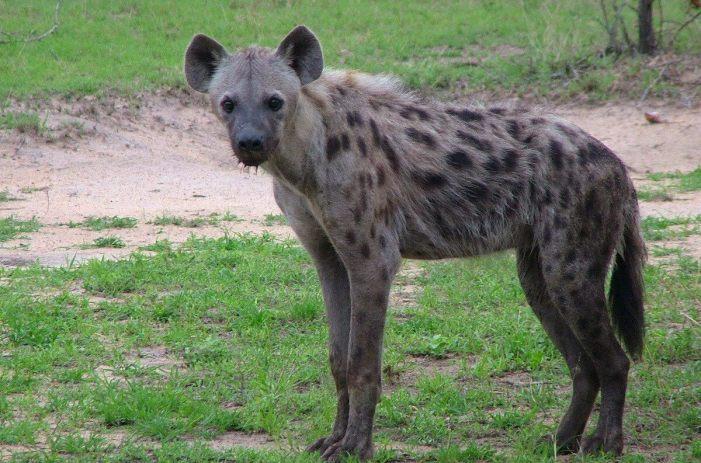 hyena on armed safari, kruger national park, south africa, pic 15