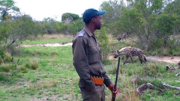 hyenas on armed safari, kruger national park, south africa, pic 3