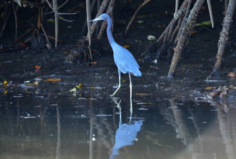 Photo of a Little blue heron along the shore of the San Cristobal River near San Blas, Mexico