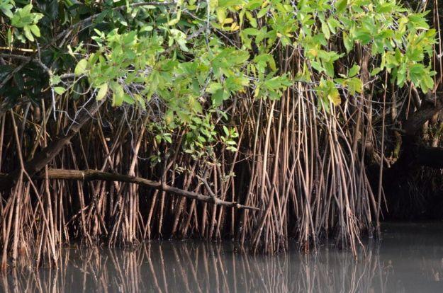 Photo of the vegetation in the mangrove swamp near San Blas, Mexico