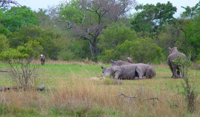rhinos and hyenas on armed safari, kruger national park, south africa, pic 2