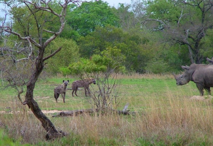 rhinos and hyenas on armed safari, kruger national park, south africa, pic 4