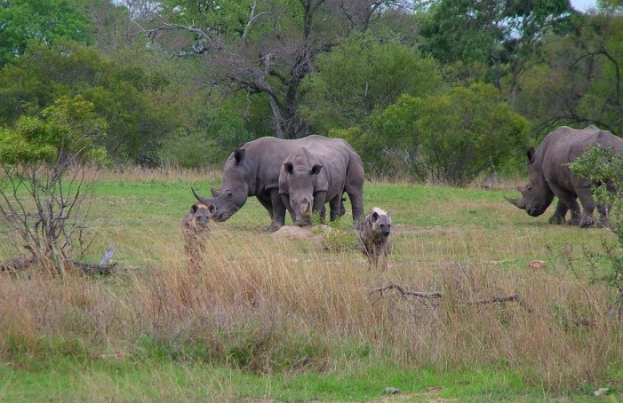 rhinos and hyenas on armed safari, kruger national park, south africa, pic 6