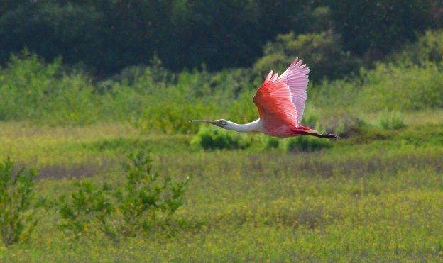 A Roseate spoonbill in flight over the San Blas shrimp ponds, Mexico