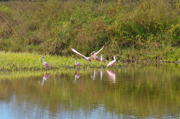 Six Roseate spoonbills at the San Blas shrimp ponds, Mexico