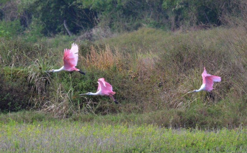 Three Roseate spoonbills in flight at the San Blas shrimp ponds, Mexico