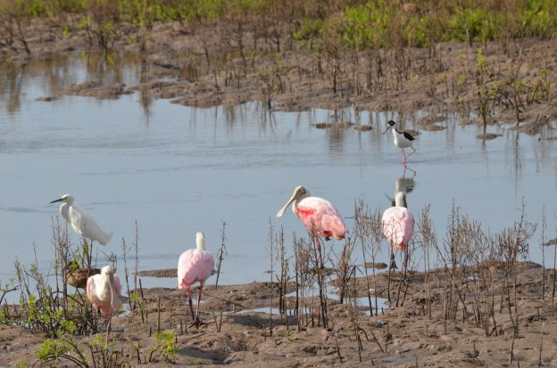 Various birds including Roseate spoonbills in San Blas, Mexico