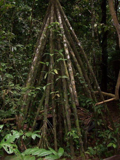 Walking palm tree at Sandoval Lake Lodge, Lake Sandoval, Amazon Delta, Peru