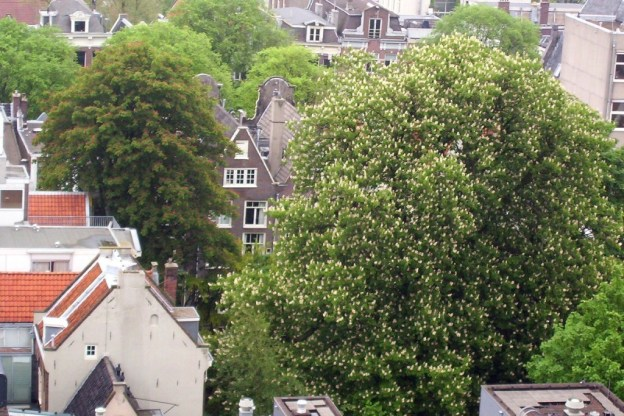 chestnut tree growing at anne frank home, the netherlands