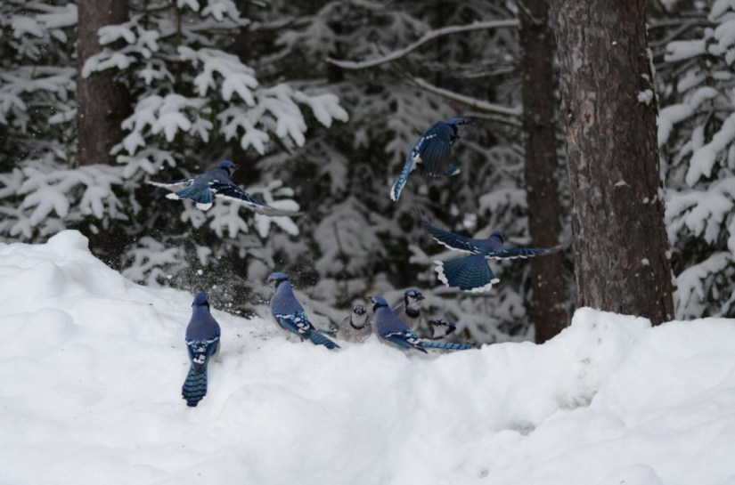 Blue Jays feeding on a snow drift in Algonquin Park in Ontario, Canada