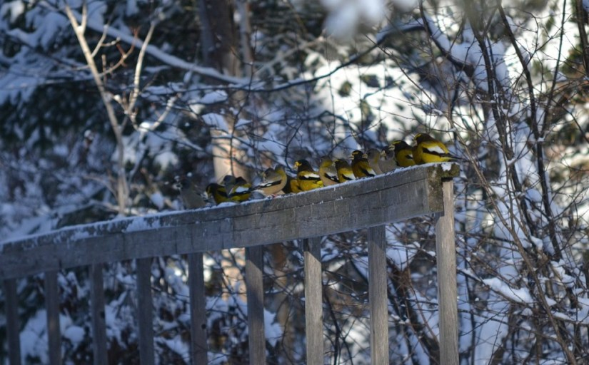 Image of Evening grosbeaks along the Spruce Bog Trail in Algonquin Park