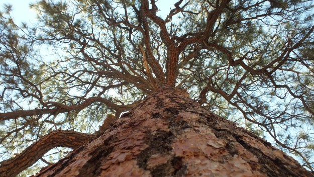 Tree trunk of a Ponderosa pine tree at Grand Canyon National Park, Arizona, U.S.A.