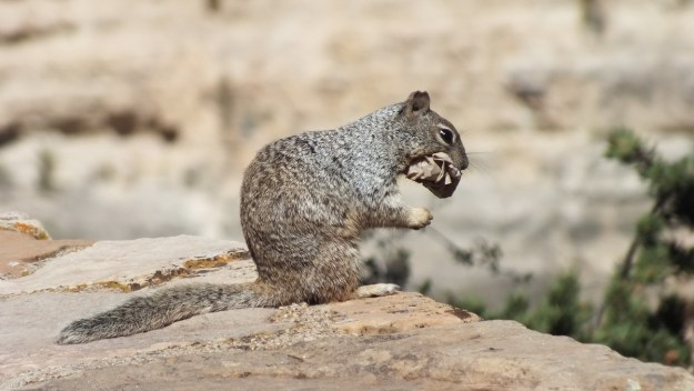 Rock squirrel with a paper bag in its mouth on the South Rim at Grand Canyon National Park, Arizona, U.S.A.