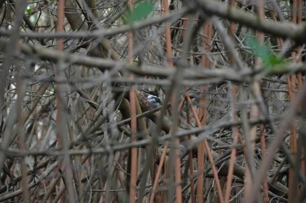 Green Kingfisher female 3, mangrove swamp, san blas, nayarit, mexico