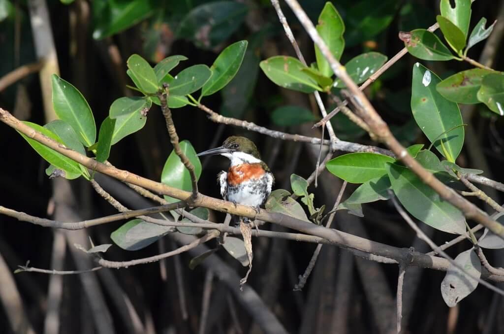 Green Kingfisher, male, mangrove swamp, san blas, mexico , pic 11