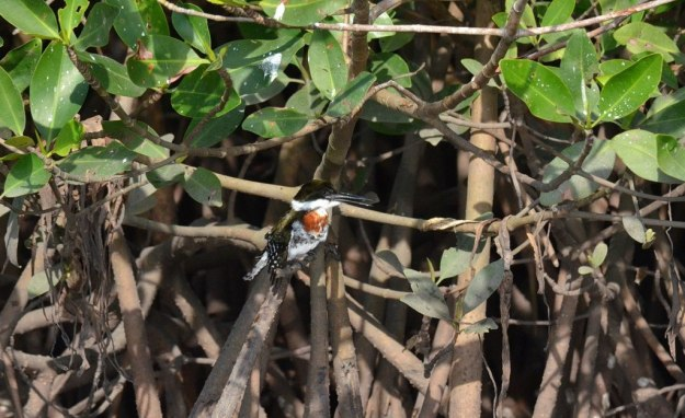 Green Kingfisher, male, mangrove swamp, san blas, mexico , pic 5