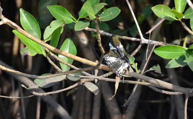Green Kingfisher, male, mangrove swamp, san blas, mexico , pic 9