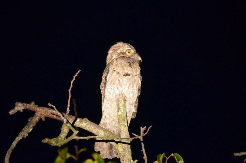 Northern Potoo 3, mangrove swamp, san blas, nayarit, mexico
