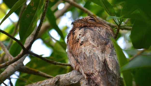 Northern Potoo, mangrove swamp, san blas, nayarit, mexico, pic 8