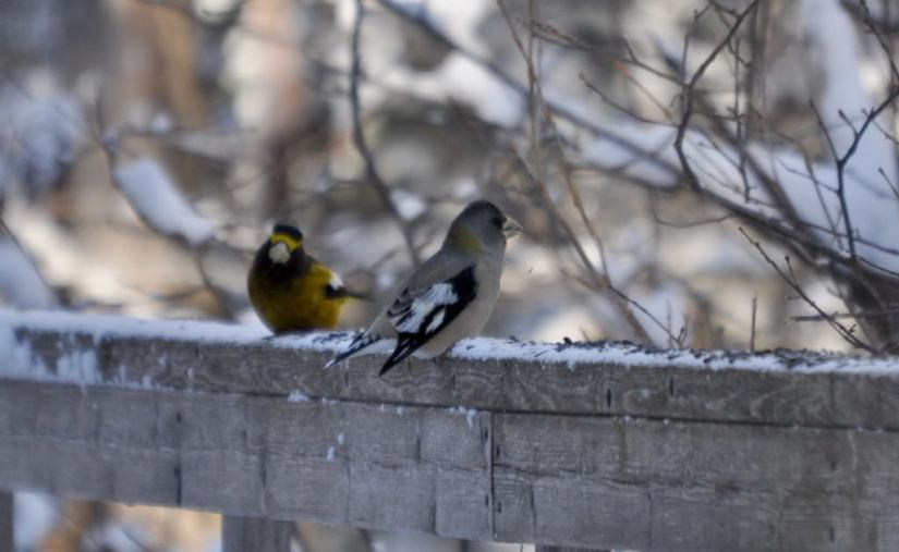 evening grosbeak sings out in algonquin park, ontario, pic23
