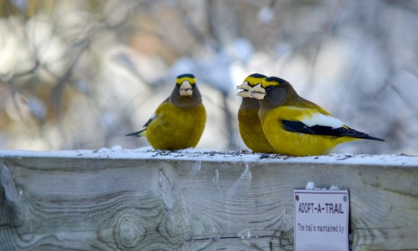 evening grosbeaks on the spruce bog boardwalk trail in algonquin park, ontario