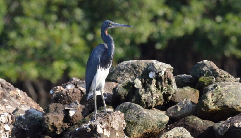 tri-colored heron, mangrove swamp, san blas, mexico, pic 11
