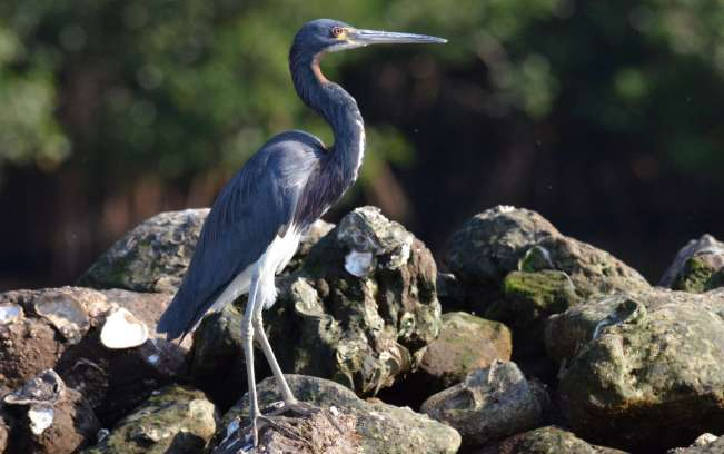 tri-colored heron, mangrove swamp, san blas, mexico, pic 14