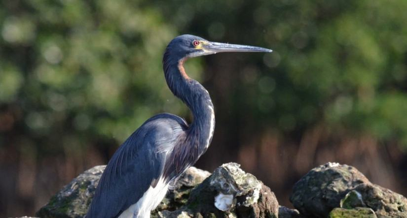 tri-colored heron, mangrove swamp, san blas, mexico, pic 7