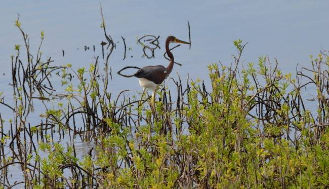 tri-colored heron, shrimp ponds, san blas, mexico, pic 3