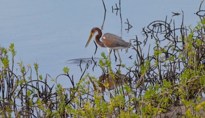 tri-colored heron, shrimp ponds, san blas, mexico, pic 4