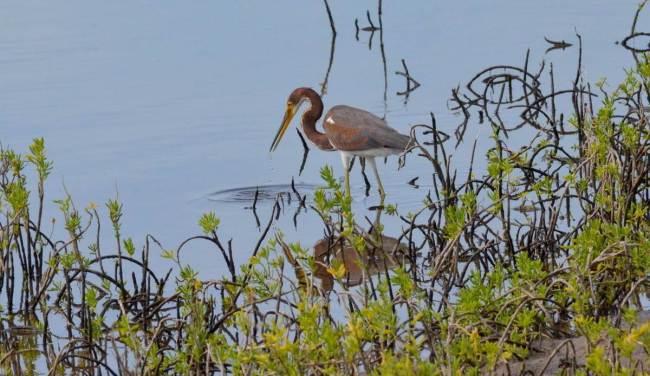 tri-colored heron, shrimp ponds, san blas, mexico, pic 4