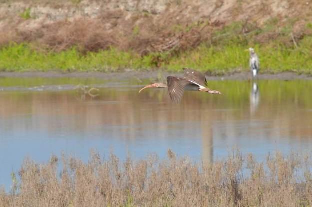 white ibis, juvenile, san blas, shrimp ponds, mexico pic 2