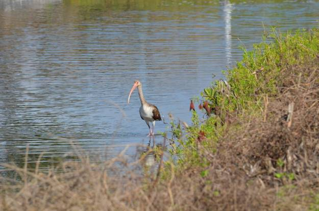 Image of a juvenile white ibis walking in the water at the shrimp ponds at San Blas, in Mexico.