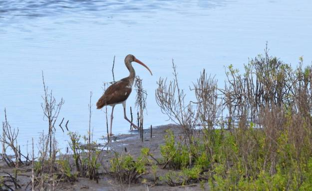Image of a juvenile white ibis walking along the shore of the shrimp ponds at San Blas, in Mexico.