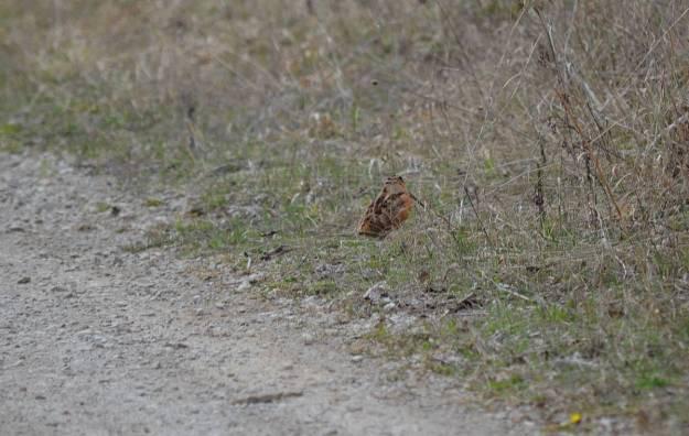 american woodcock, carden alvar, city of kawartha lakes, ontario, pic 5