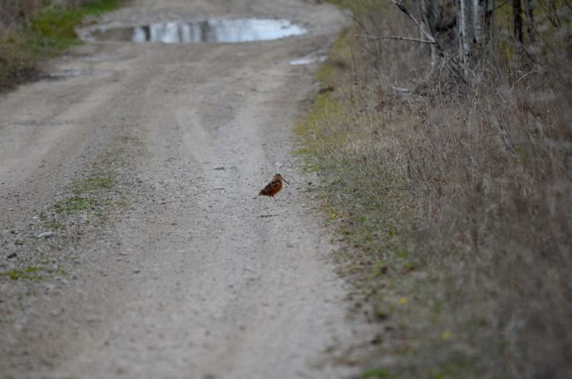 american woodcock, carden alvar, city of kawartha lakes, ontario, pic 6