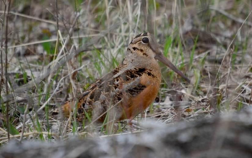 american woodcock, carden alvar, city of kawartha lakes