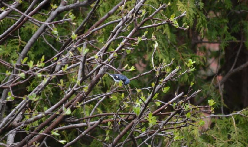 black-throated blue warbler, male, toronto, pic 5