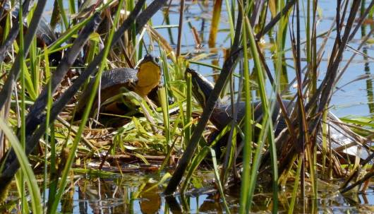 blandings turtle, carden alvar, city of kawartha lakes, ontario, pic 15