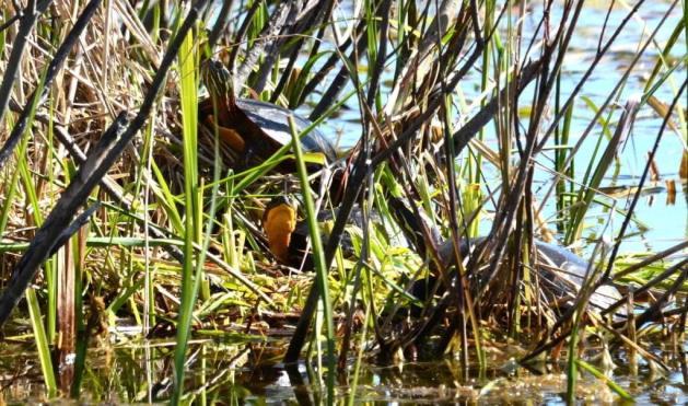 blandings turtle, carden alvar, city of kawartha lakes, ontario, pic 2