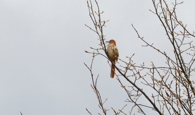 brown thrasher, carden alvar, city of kawartha lakes, ontario, pic 5